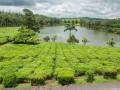 Маврикий: чайная плантация